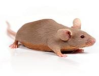Generación de ratones 'knockout'